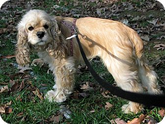 Cocker Spaniel Dog for adoption in Allentown, Pennsylvania - Honey