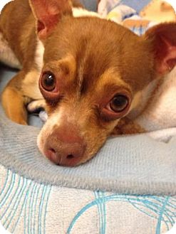 Chihuahua Mix Dog for adoption in Las Vegas, Nevada - Honey