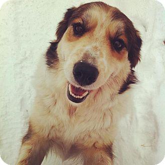 Collie/Husky Mix Dog for adoption in Saskatoon, Saskatchewan - Molly