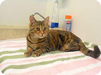 Domestic Shorthair Cat for adoption in Sylva, North Carolina - Spice