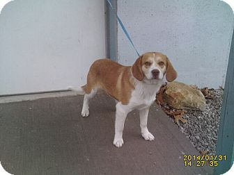 Beagle Mix Dog for adoption in El Dorado Springs, Missouri - Jake