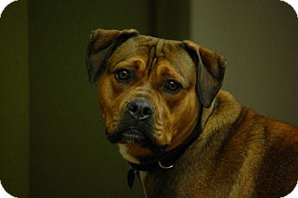 Rottweiler/German Shepherd Dog Mix Dog for adoption in Toronto/GTA, Ontario - AMBER