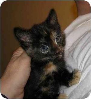 Domestic Shorthair Kitten for adoption in Bristol, Rhode Island - Beatrice