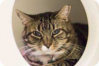Domestic Shorthair Cat for adoption in Lowell, Massachusetts - Razzleberry