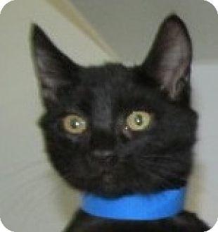 Domestic Shorthair Kitten for adoption in Aiken, South Carolina - KIEFER