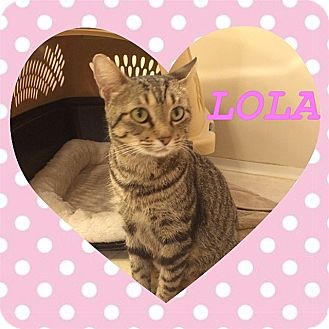 Domestic Shorthair Cat for adoption in Tampa, Florida - Lola