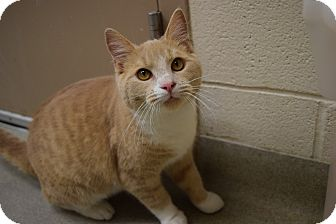 Domestic Shorthair Cat for adoption in Bucyrus, Ohio - Sweet Nibletts!!