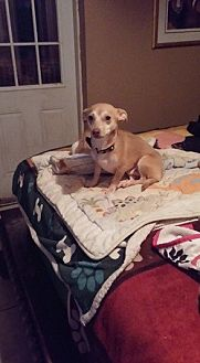 Chihuahua/Dachshund Mix Dog for adoption in Brooksville, Florida - Doogie