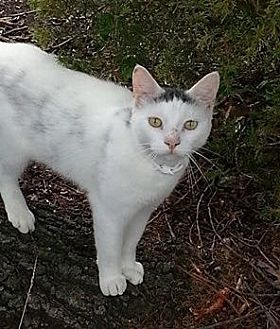 Domestic Shorthair Cat for adoption in Herndon, Virginia - Pearlie