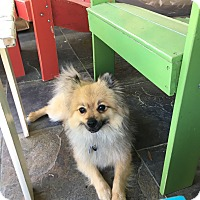 Adopt A Pet :: SAKI - conroe, TX
