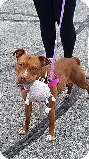 American Staffordshire Terrier/Pit Bull Terrier Mix Dog for adoption in Villa Park, Illinois - Ruby