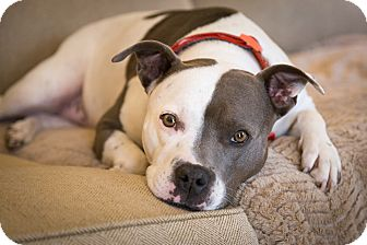 Staffordshire Bull Terrier Dog for adoption in Nashville, Tennessee - LADY