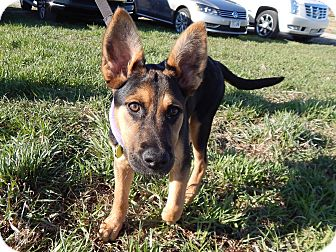 Shepherd (Unknown Type) Mix Puppy for adoption in Fort Atkinson, Wisconsin - Alexis