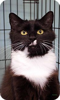 Domestic Mediumhair Cat for adoption in Paris, Maine - Hazel
