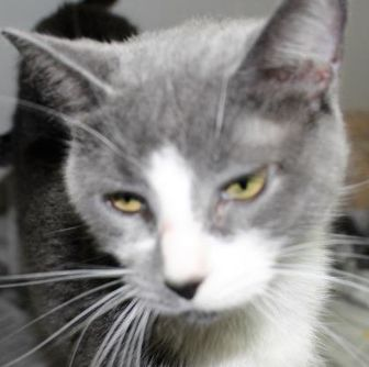 Domestic Shorthair/Domestic Shorthair Mix Cat for adoption in Robinson, Illinois - Gigi