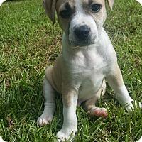 Adopt A Pet :: Derek - Atlanta, GA
