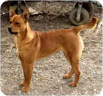 Carolina Dog Dog for adoption in Portsmouth, Rhode Island - Sissy
