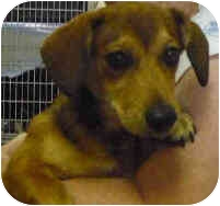 Dachshund Mix Dog for adoption in San Clemente, California - BROWNIE