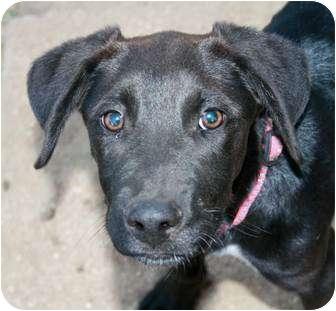 Beagle/Labrador Retriever Mix Puppy for adoption in Phelan, California - Kit Kat