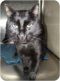 Domestic Shorthair Cat for adoption in Worcester, Massachusetts - Vinny