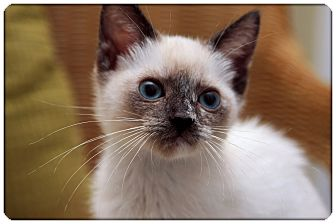 Siamese Kitten for adoption in Sterling Heights, Michigan - Sprig - ADOPTED!