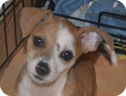 Chihuahua/Jack Russell Terrier Mix Puppy for adoption in San Diego, California - Sultan