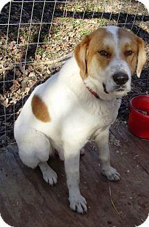 St. Bernard Mix Dog for adoption in Morgantown, West Virginia - Buster