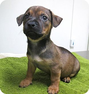 Chihuahua Mix Puppy for adoption in Los Angeles, California - XAN