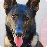 Adopt A Pet :: Samantha - Burbank, CA