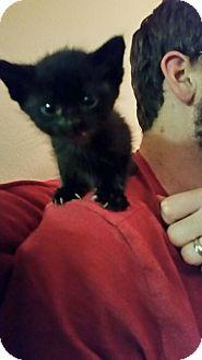 Domestic Shorthair Kitten for adoption in Wichita Falls, Texas - Thor/Holder