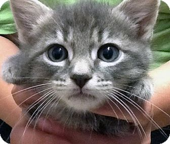 Domestic Shorthair Kitten for adoption in Douglas, Wyoming - Olaf