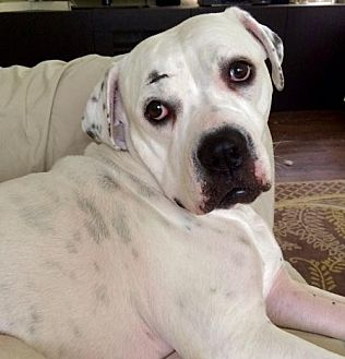 Boxer/American Bulldog Mix Dog for adoption in Fort Lauderdale, Florida - HANNAH