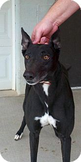 Greyhound Dog for adoption in Randleman, North Carolina - Magraw