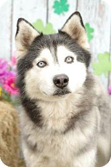 Alaskan Malamute/Siberian Husky Mix Dog for adoption in Inverness, Florida - Sanuk