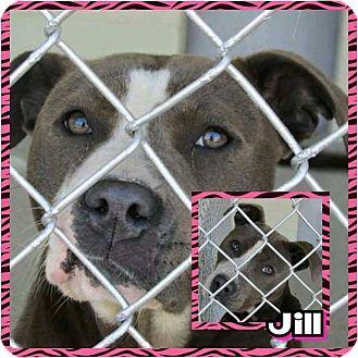 American Pit Bull Terrier Mix Dog for adoption in Williamsburg, Virginia - JILL