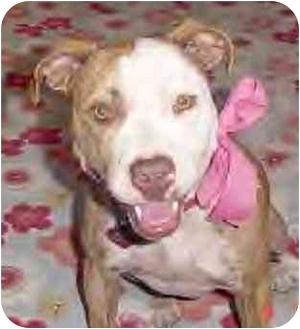American Staffordshire Terrier Dog for adoption in El Segundo, California - Vivienne-URGENT
