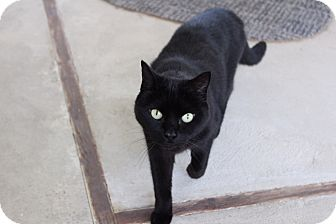 Colorpoint Shorthair Cat for adoption in Warwick, Rhode Island - Lily