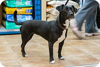 Dachshund Mix Dog for adoption in Rigaud, Quebec - Vickie