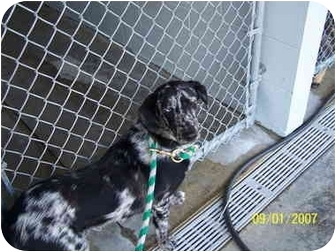 Catahoula Leopard Dog Mix Dog for adoption in Shelbyville, Kentucky - Cash
