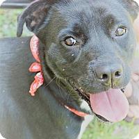 Labrador Retriever Mix Dog for adoption in Plainfield, Connecticut - Josie-URGENT