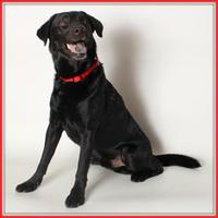 Labrador Retriever Mix Dog for adoption in Glendale, Arizona - Gotham