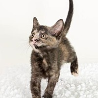 Domestic Shorthair/Domestic Shorthair Mix Cat for adoption in Savannah, Georgia - Shiloh