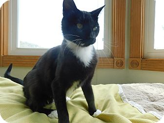 Domestic Shorthair Cat for adoption in Ridgway, Colorado - April