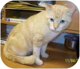 Domestic Shorthair Cat for adoption in Palatine, Illinois - Conner