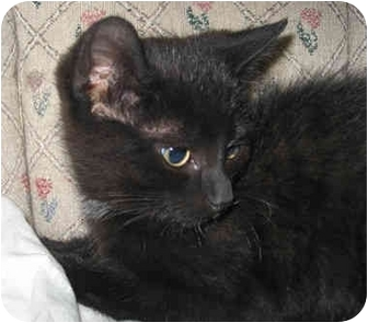Domestic Shorthair Kitten for adoption in Toronto, Ontario - Shade