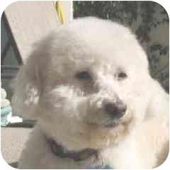 Bichon Frise Mix Dog for adoption in La Costa, California - Rhianna