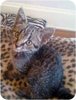 Domestic Shorthair Kitten for adoption in Grove City, Ohio - Flinch