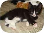 Domestic Shorthair Kitten for adoption in Tampa, Florida - Pilot