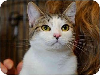 Domestic Shorthair Cat for adoption in Monroe, Georgia - Elise