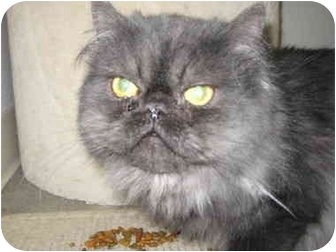 Persian Cat for adoption in Rock Springs, Wyoming - Tommy